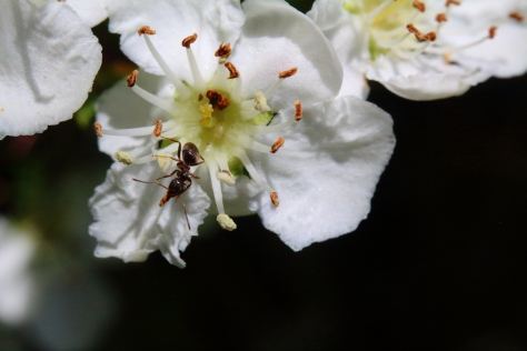 An ant in a wildflower