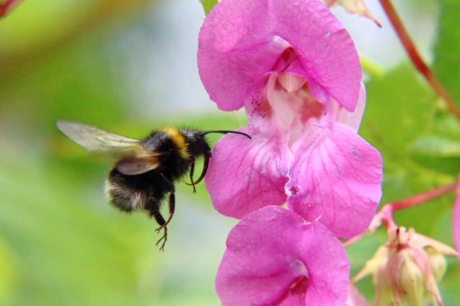 Bumblebee backs out backwards...