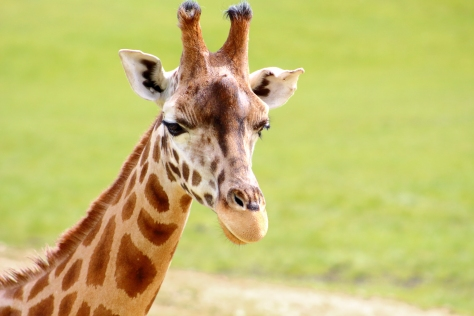 A giraffe in Longleat Safari Park