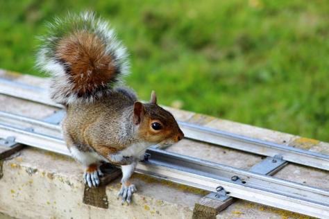 Common Grey Squirrel