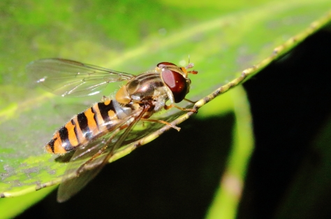 A common hoverfly