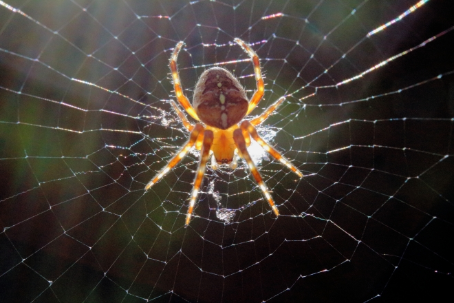 Adult orb weaver (backlit by the sun).