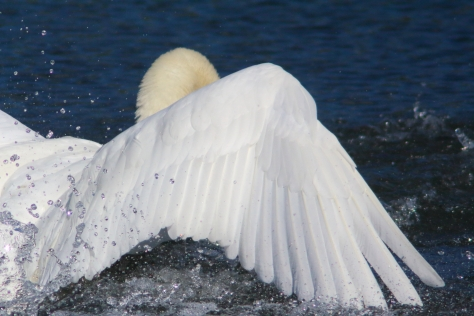 Swanning around - a different take on a swan, as it comes into land.