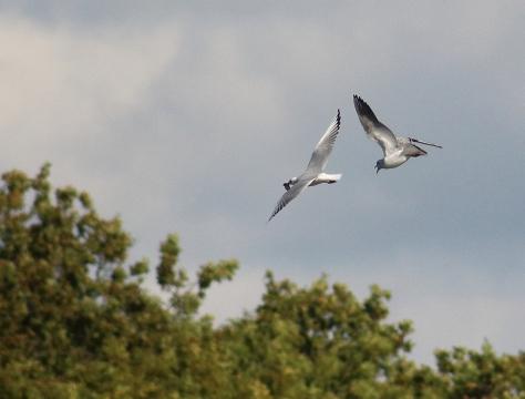 Gulls fighting