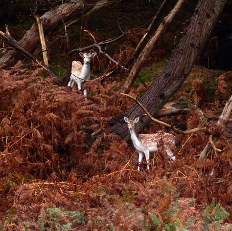 Deer in Knole Park