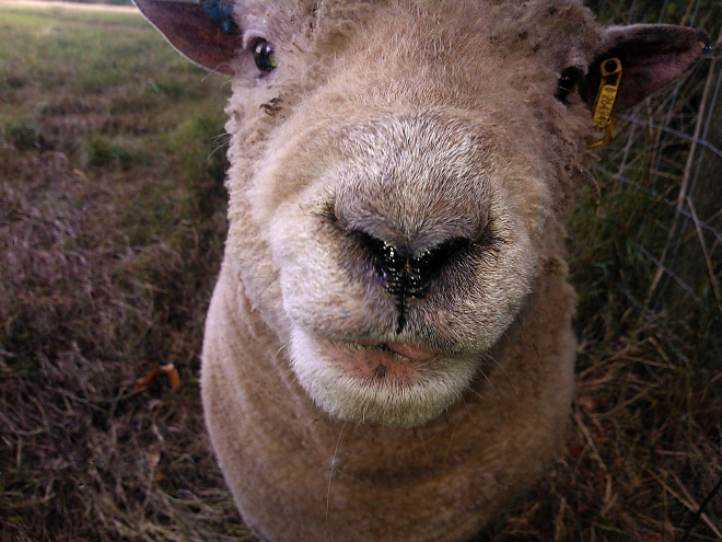 Friendly sheep