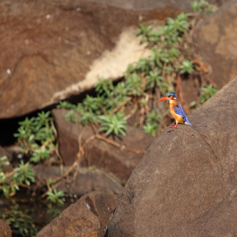 African Malachite Kingfisher